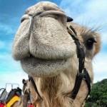 Coffs Coast Camels